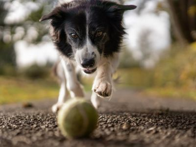 Dog chasing a ball.